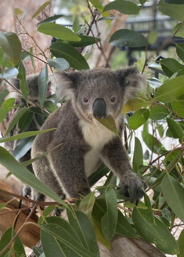 Koala Eila