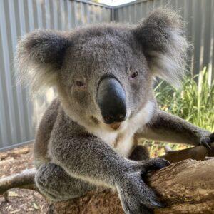 Koala Jax