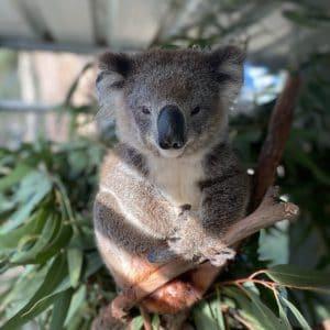 Koala Latty