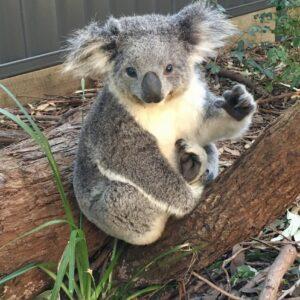 Koala Maree