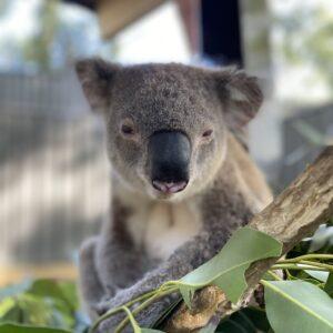 Koala Steve