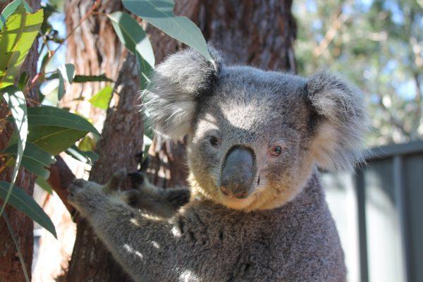Koala Tai