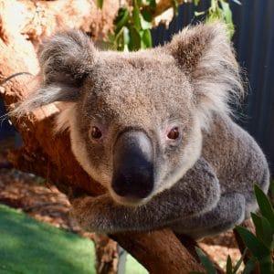 Koala Tolley