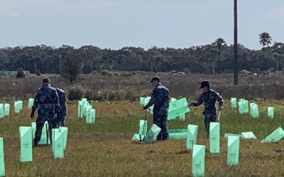 RAAF Base Williamtown Koala Food Tree Plantation