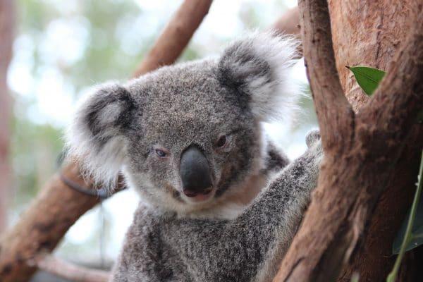 Koala Joanie
