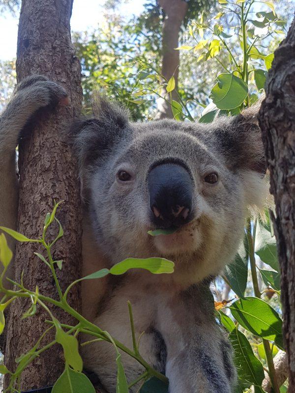 Koala Solstice