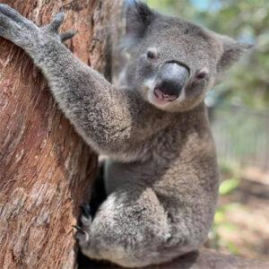 Adopt a koala » Adopt