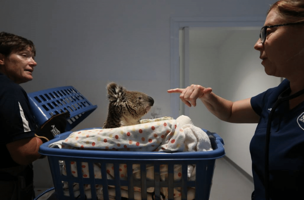 Port Stephens' New Koala Hospital Kept Busy With Furry Patients... And A Reptile »