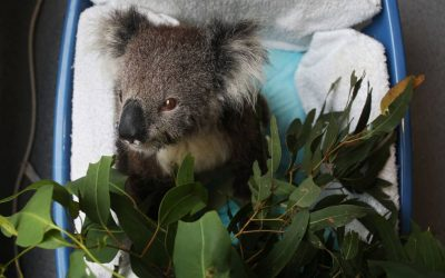 Port Stephens' New Koala Hospital Kept Busy With Furry Patients… And A Reptile