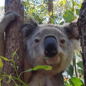 Adopt » Adopt a koala