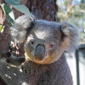 Tai - Port Stephens Koala Sanctuary - Port Stephens Koalas