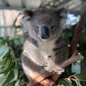 Latty - Port Stephens Koala Sanctuary - Port Stephens Koalas