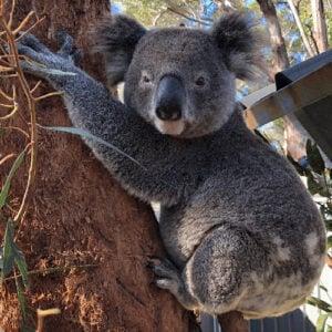 Matt - Port Stephens Koala Sanctuary - Port Stephens Koalas