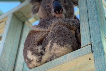 Kings Hill development north of Raymond Terrace is the new battleground for koalas