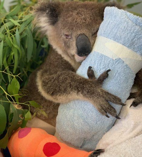 Donate - Port Stephens Koalas
