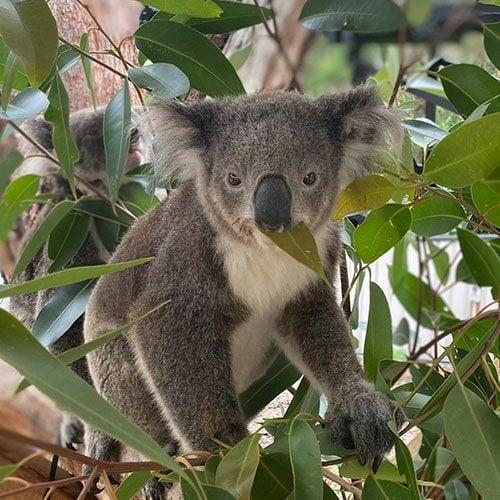 Eila - Port Stephens Koala Sanctuary - Port Stephens Koalas