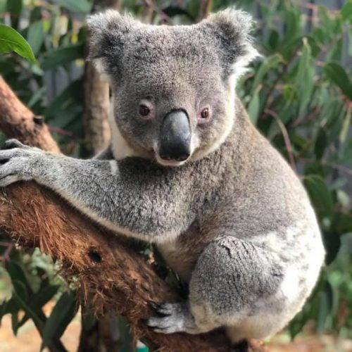 Howie - Port Stephens Koala Sanctuary - Port Stephens Koalas