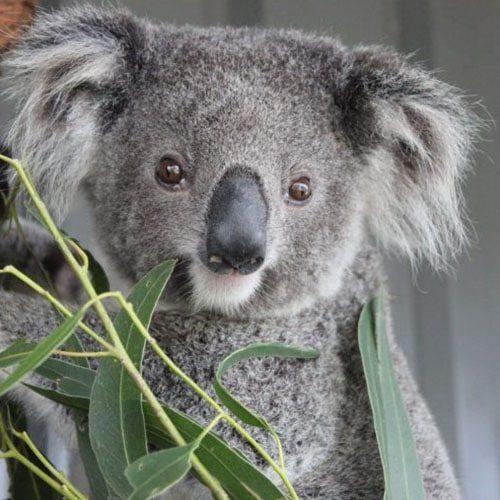 Released! River - Port Stephens Koala Sanctuary - Port Stephens Koalas