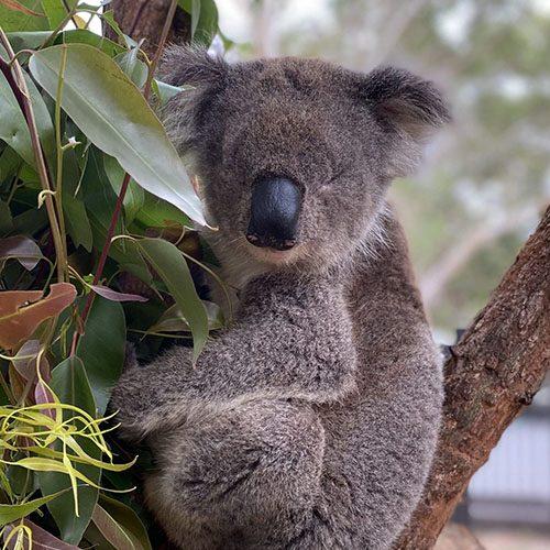 Clarence - Port Stephens Koala Sanctuary - Port Stephens Koalas