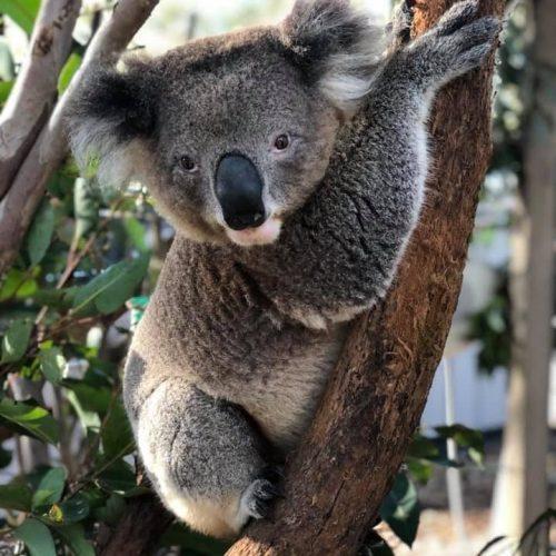Jax - Port Stephens Koala Sanctuary - Port Stephens Koalas