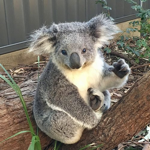Maree - Port Stephens Koala Sanctuary - Port Stephens Koalas