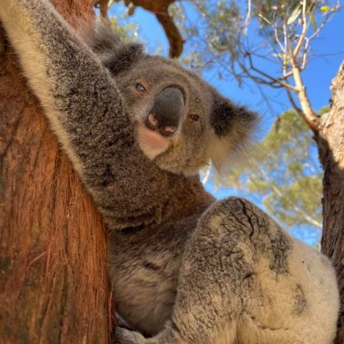 Joanie - Port Stephens Koala Sanctuary - Port Stephens Koalas